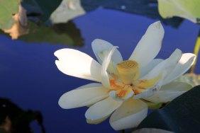 lotusblue12
