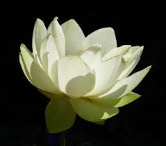 4c159-lotusblossom