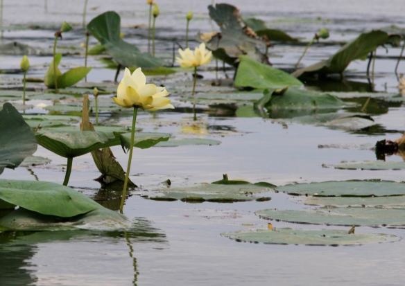 Reelfoot Lake Lotus photography by Lisa Ernst