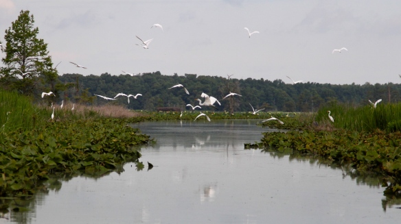 A Flock of Egrets - photography by Lisa Ernst