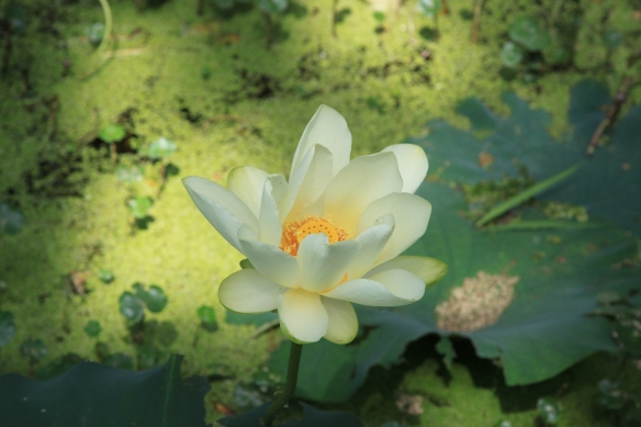 Lotus at Reelfoot Lake photography by Lisa Ernst