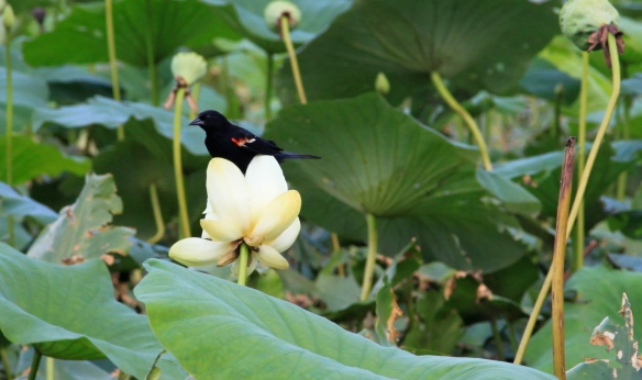 Blackbird in Lotus - photography by Lisa Ernst