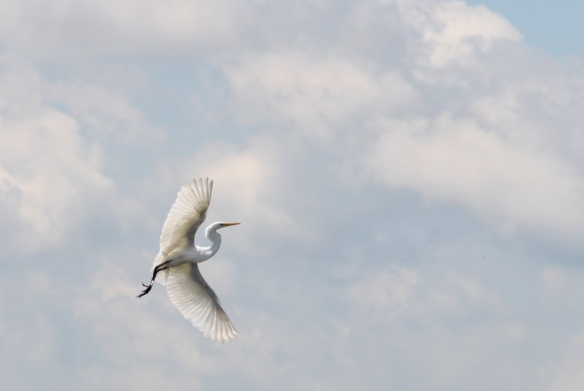 White Heron in Open Sky photography by Lisa Ernst