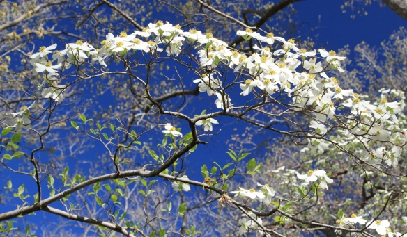 Dogwoods in Full Bloom, Bethany Hills Camp.