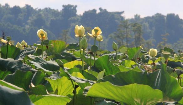 lotusbacklit2