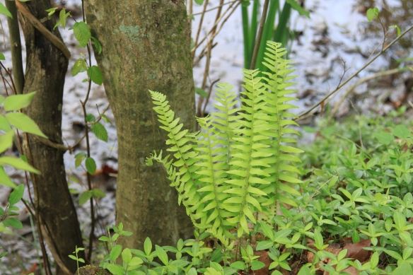 Ferns by the Pond at Bethany Hills